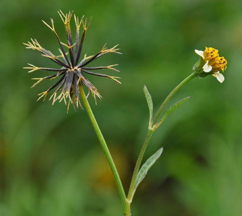 Picão - 10 ml  - Floressência