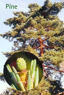 Pine - 30 ml  - Floressência