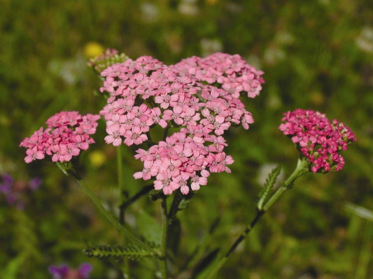 Pink Yarrow  - Floressência