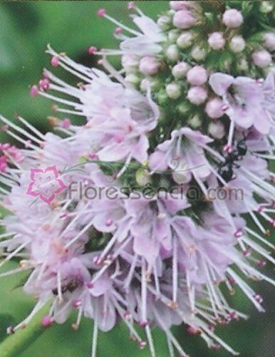 Piperita - 10 ml  - Floressência