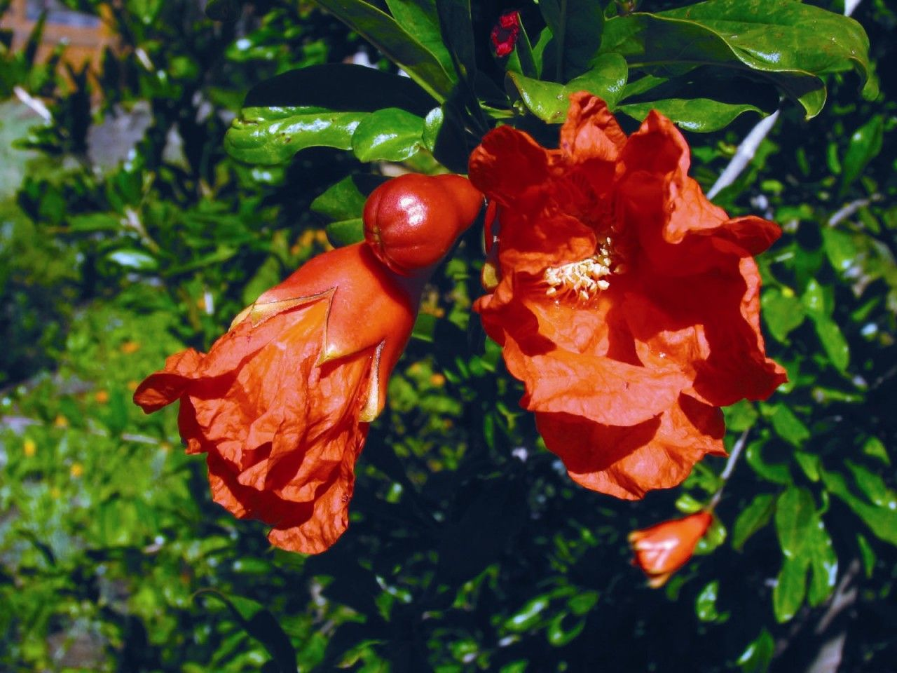 Pomegranate - 7,5 ml  - Floressência