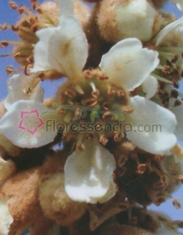 Prunus - 10 ml  - Floressência