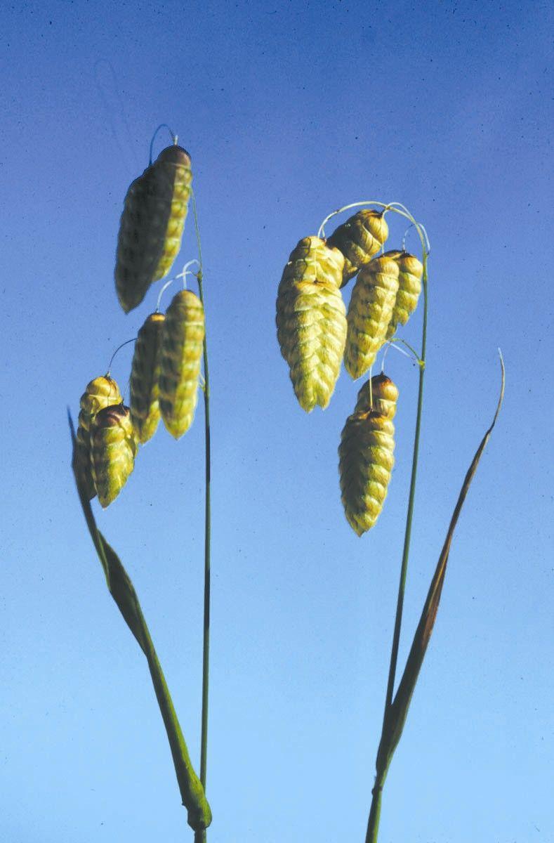 Quaking Grass - 7,5 ml  - Floressência