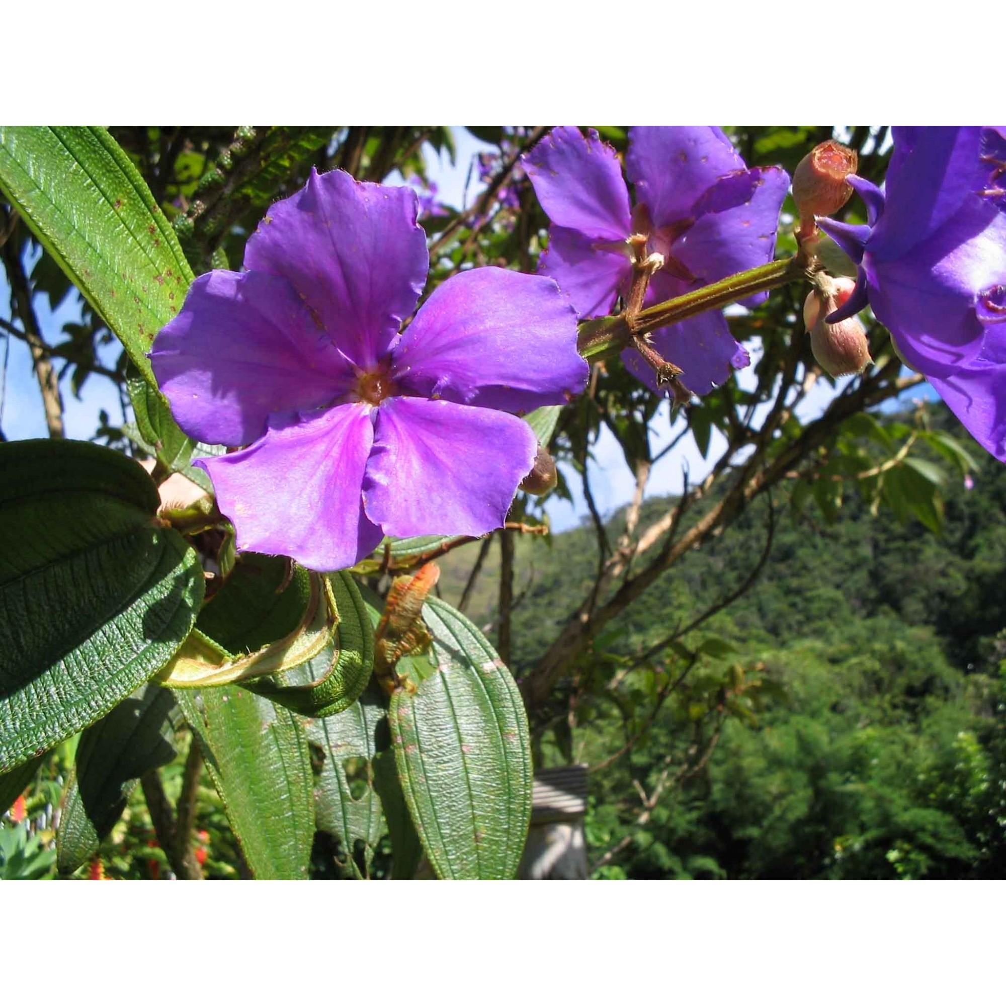 Quaresma Roxa - 10 ml  - Floressência