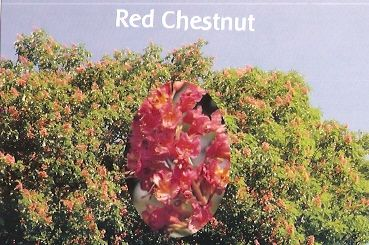 Red Chestnut - 10 ml  - Floressência