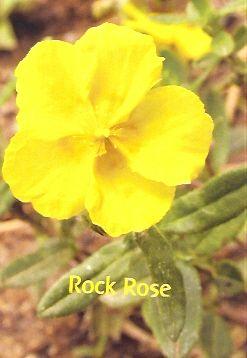 Rock Rose - 10 ml  - Floressência