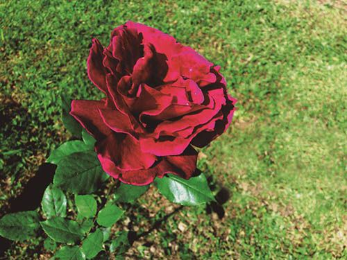 Rosa Carmin - 10 ml  - Floressência
