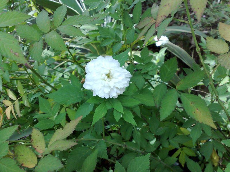 Rosinha Branca - 10 ml  - Floressência