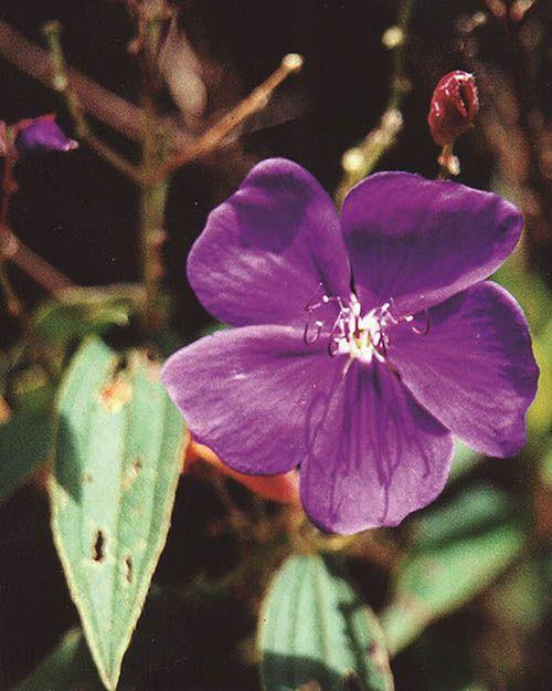 Roxinha - 10 ml  - Floressência