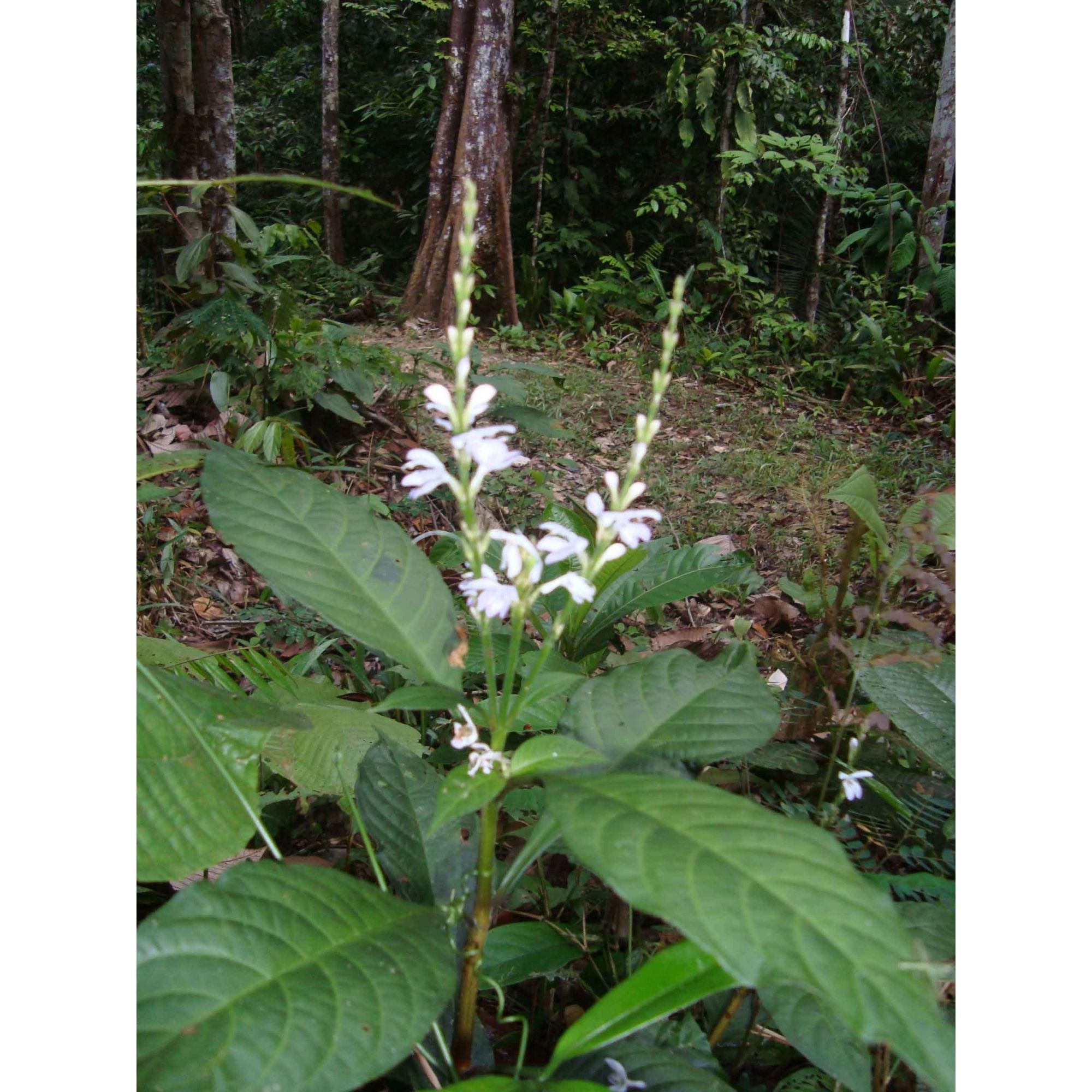 Rutinha - 10 ml  - Floressência