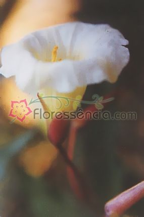 Saint Germain - 10 ml  - Floressência