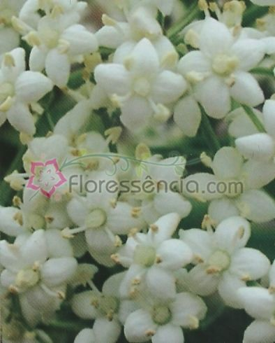 Sambucus - 10 ml  - Floressência