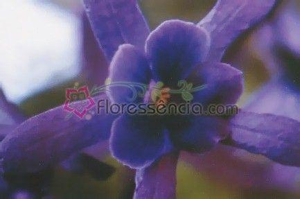 São Miguel - 10 ml  - Floressência