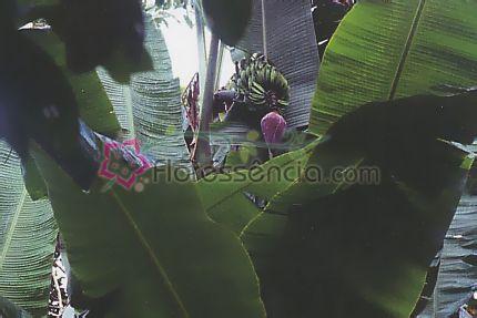 Sapientum - 10 ml  - Floressência