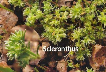 Scleranthus - 10 ml  - Floressência