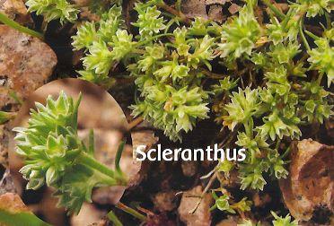 Scleranthus - 30 ml  - Floressência