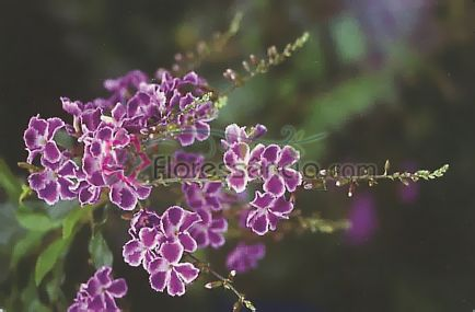 Scorpius - 10 ml  - Floressência