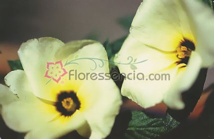 Sergipe - 10 ml  - Floressência