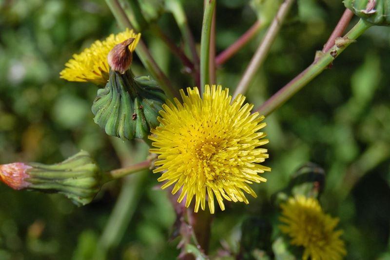 Serralha - 10 ml  - Floressência