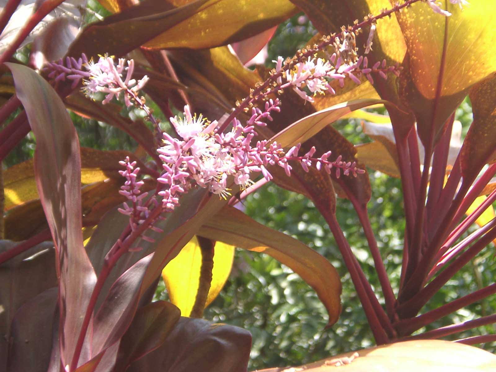 Shaimanaium Hainah - 10 ml  - Floressência