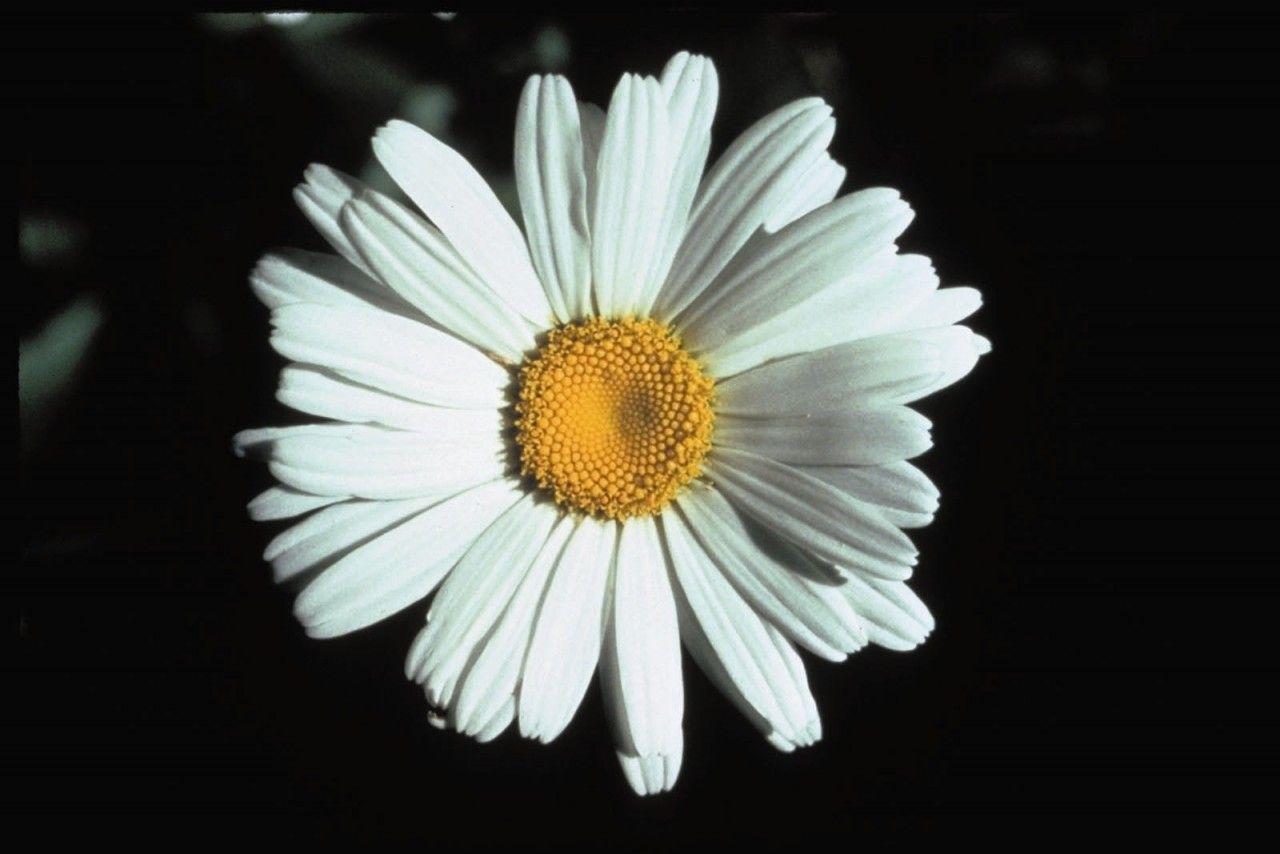Shasta Daisy  - Floressência