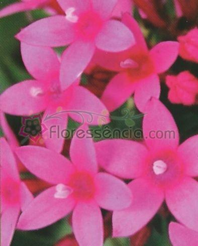 Silene - 10 ml  - Floressência