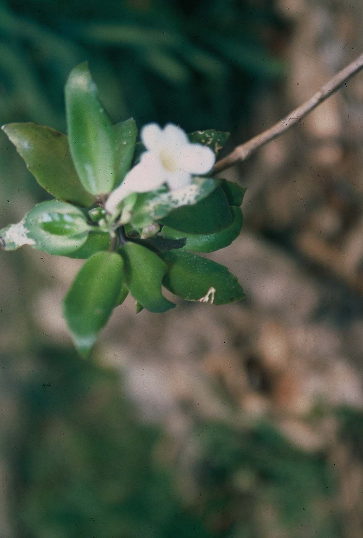 Sininho - 10 ml  - Floressência