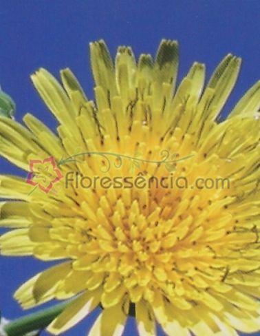 Sonchus - 10 ml  - Floressência
