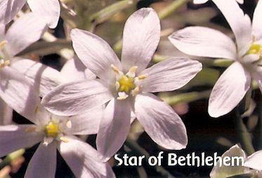 Star Of Bethlehem - 10 ml  - Floressência