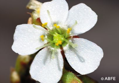 Sundew - 15 ml  - Floressência
