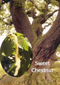 Sweet Chestnut - 10 ml  - Floressência