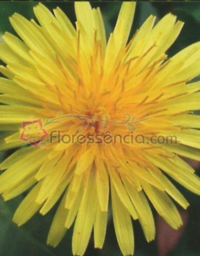 Taraxacum - 10 ml  - Floressência
