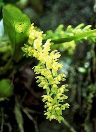 Tauá - 15 ml  - Floressência