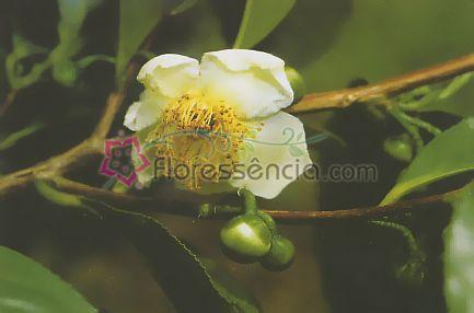 Thea - 10 ml  - Floressência