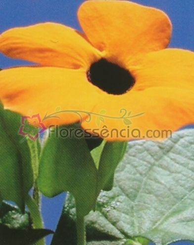 Thunbergia - 10 ml  - Floressência
