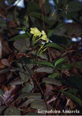 Trepadeira Amarela - 10 ml  - Floressência