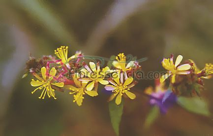 Triunfo - 10 ml  - Floressência