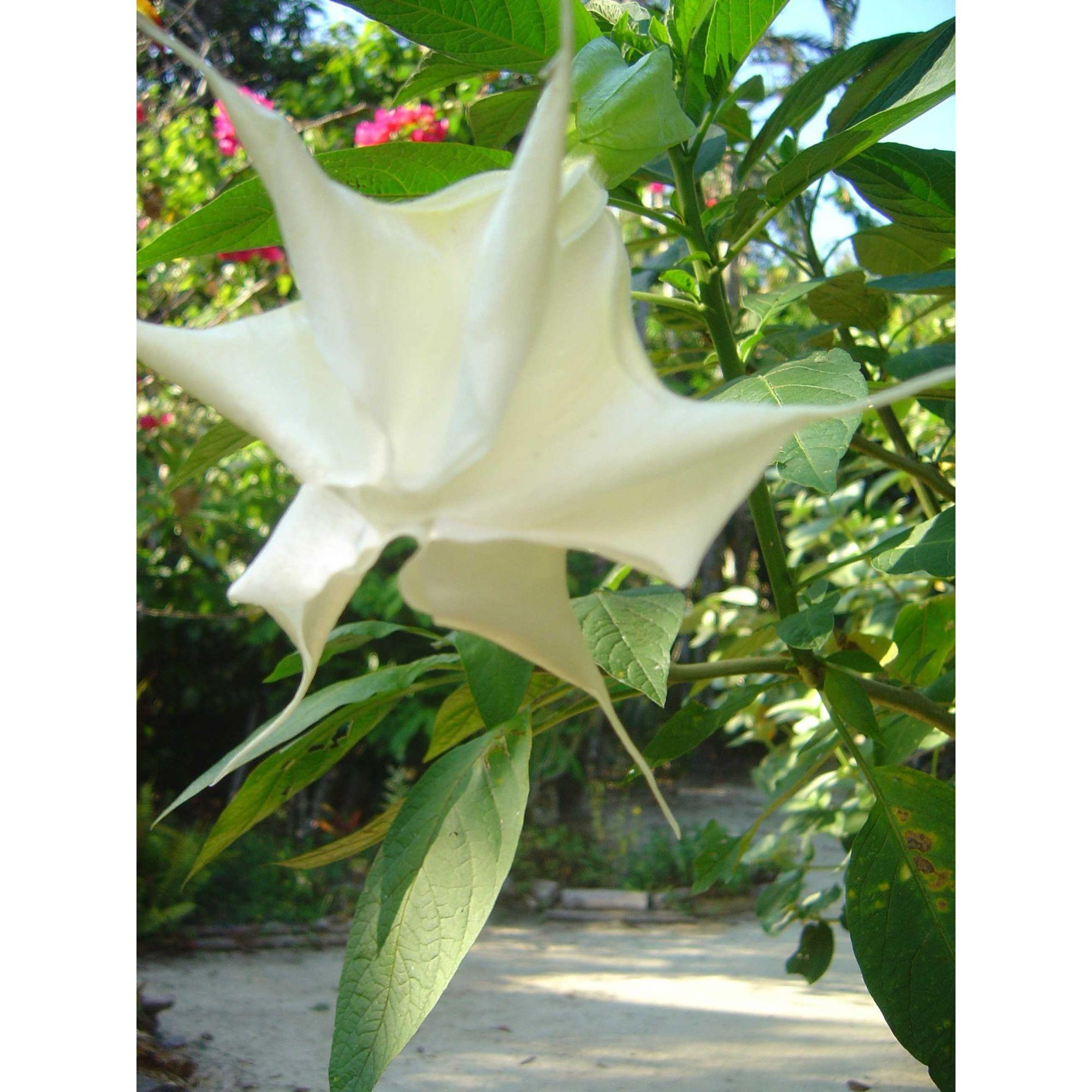 Trombeta - 10 ml  - Floressência