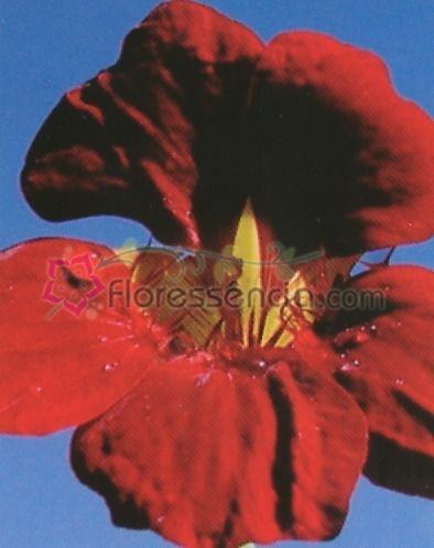 Tropaeolum - 10 ml  - Floressência