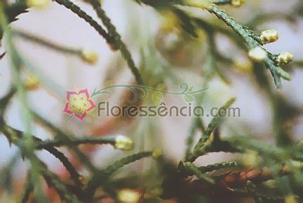 Tuia - 10 ml  - Floressência