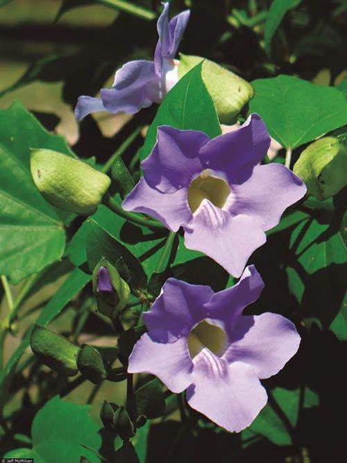 Tumbérgia Azul - 10 ml  - Floressência