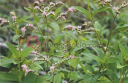 Varus - 10 ml  - Floressência