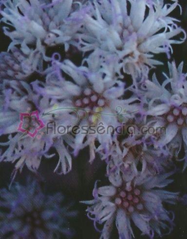Vernonia - 10 ml  - Floressência