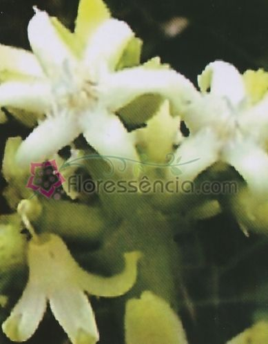 Villaresia - 10 ml  - Floressência