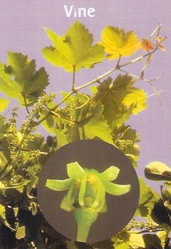 Vine - 10 ml  - Floressência