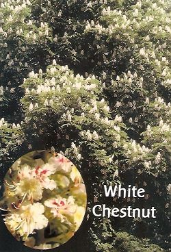 White Chestnut - 10 ml  - Floressência