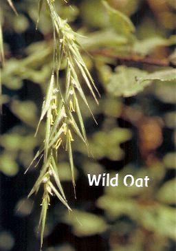 Wild Oat - 30 ml  - Floressência