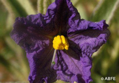 Wild Potato Bush - 15 ml  - Floressência