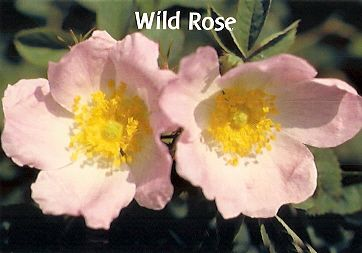 Wild Rose - 10 ml  - Floressência