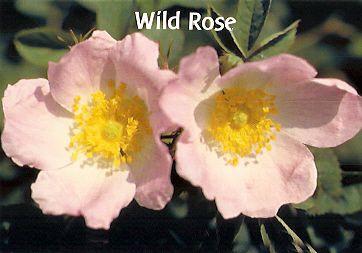 Wild Rose - 30 ml  - Floressência